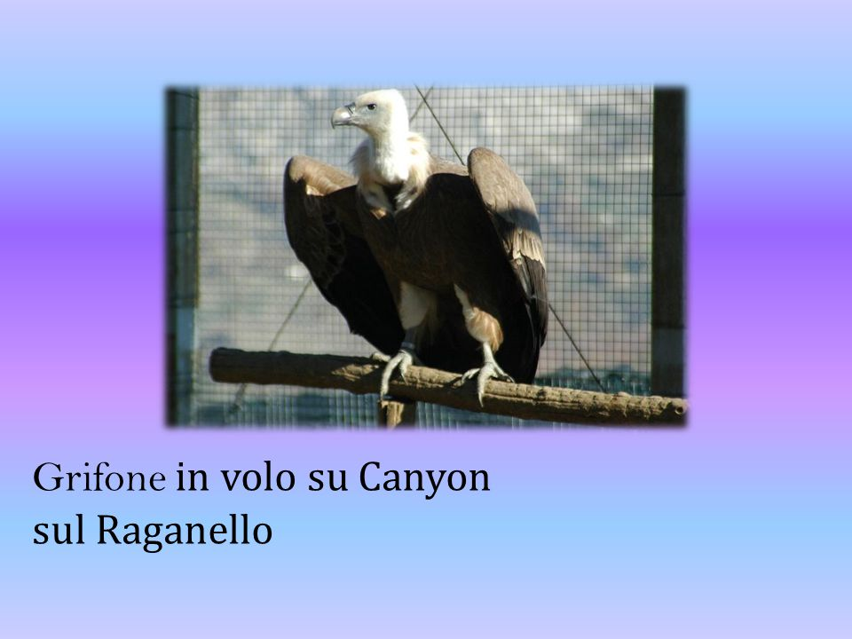 Grifone in volo su Canyon sul Raganello