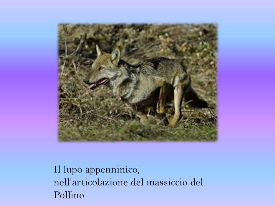 Il lupo appenninico, nell'articolazione del massiccio del Pollino