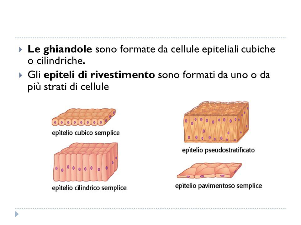 Le ghiandole sono formate da cellule epiteliali cubiche o cilindriche.