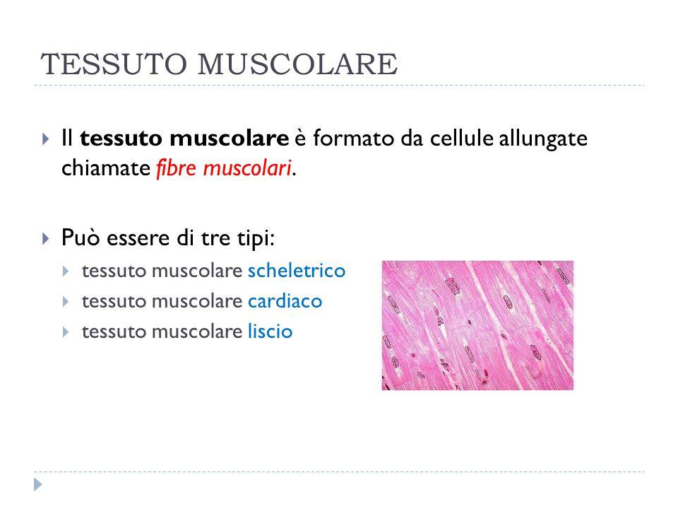 TESSUTO MUSCOLARE Il tessuto muscolare è formato da cellule allungate chiamate fibre muscolari. Può essere di tre tipi: