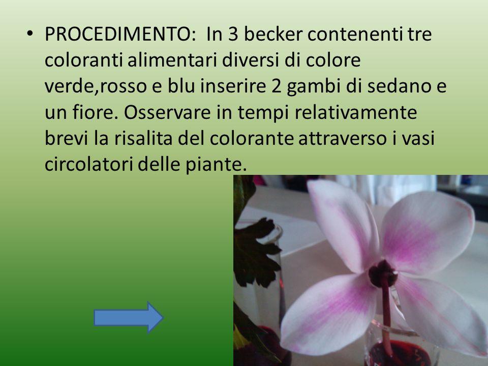 PROCEDIMENTO: In 3 becker contenenti tre coloranti alimentari diversi di colore verde,rosso e blu inserire 2 gambi di sedano e un fiore.