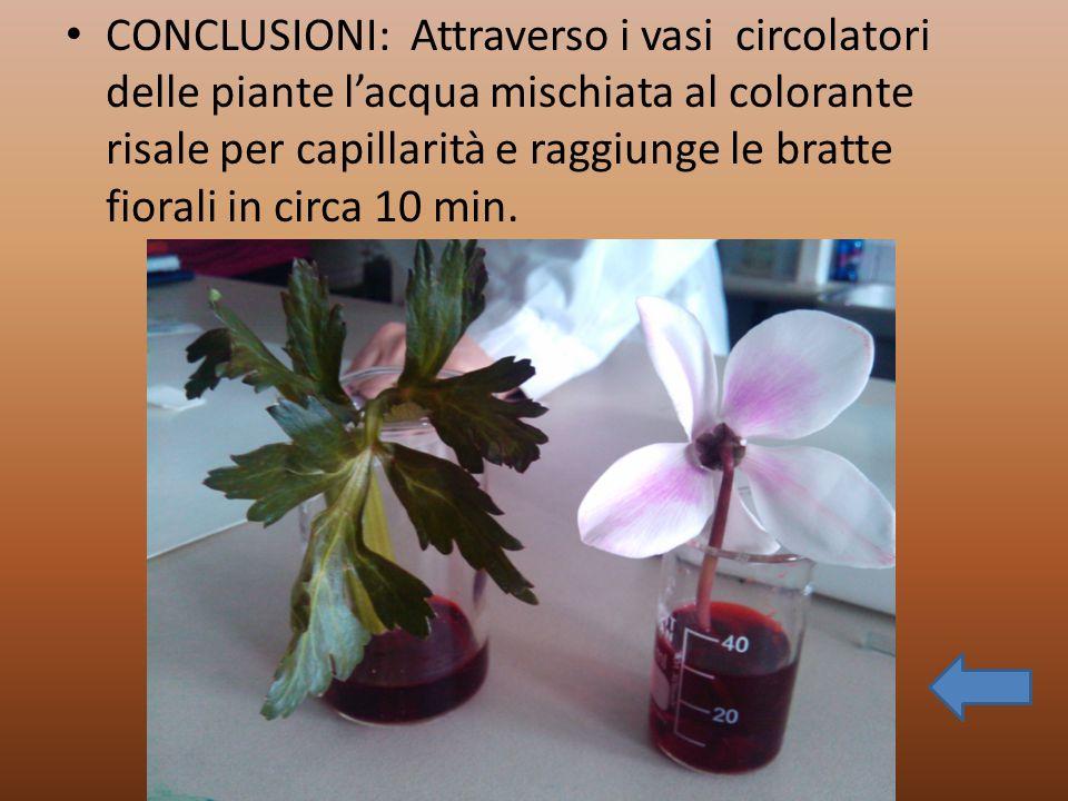 CONCLUSIONI: Attraverso i vasi circolatori delle piante l'acqua mischiata al colorante risale per capillarità e raggiunge le bratte fiorali in circa 10 min.