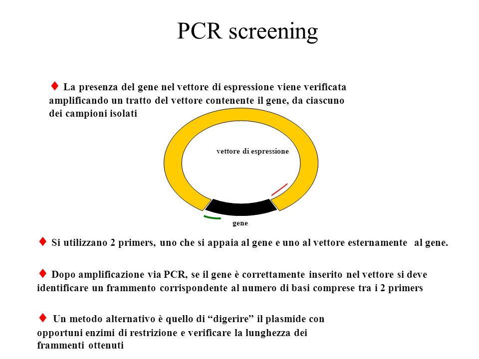 PCR screening  La presenza del gene nel vettore di espressione viene verificata. amplificando un tratto del vettore contenente il gene, da ciascuno.
