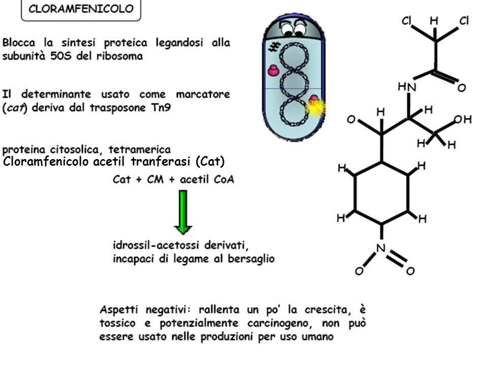 Cloramfenicolo acetil tranferasi (Cat)