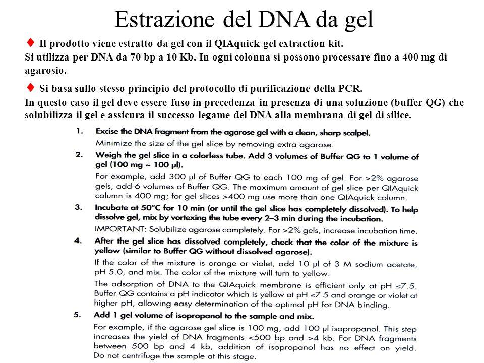 Estrazione del DNA da gel