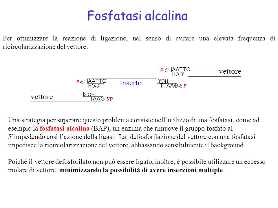 Fosfatasi alcalina vettore inserto vettore