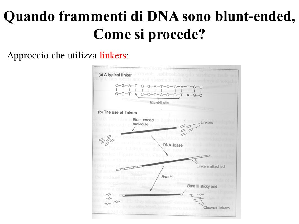 Quando frammenti di DNA sono blunt-ended,