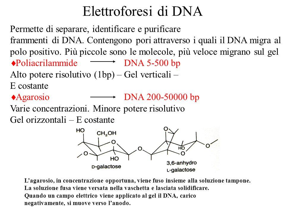 Elettroforesi di DNA Permette di separare, identificare e purificare