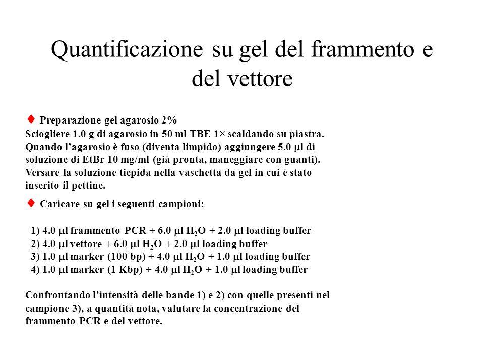 Quantificazione su gel del frammento e del vettore