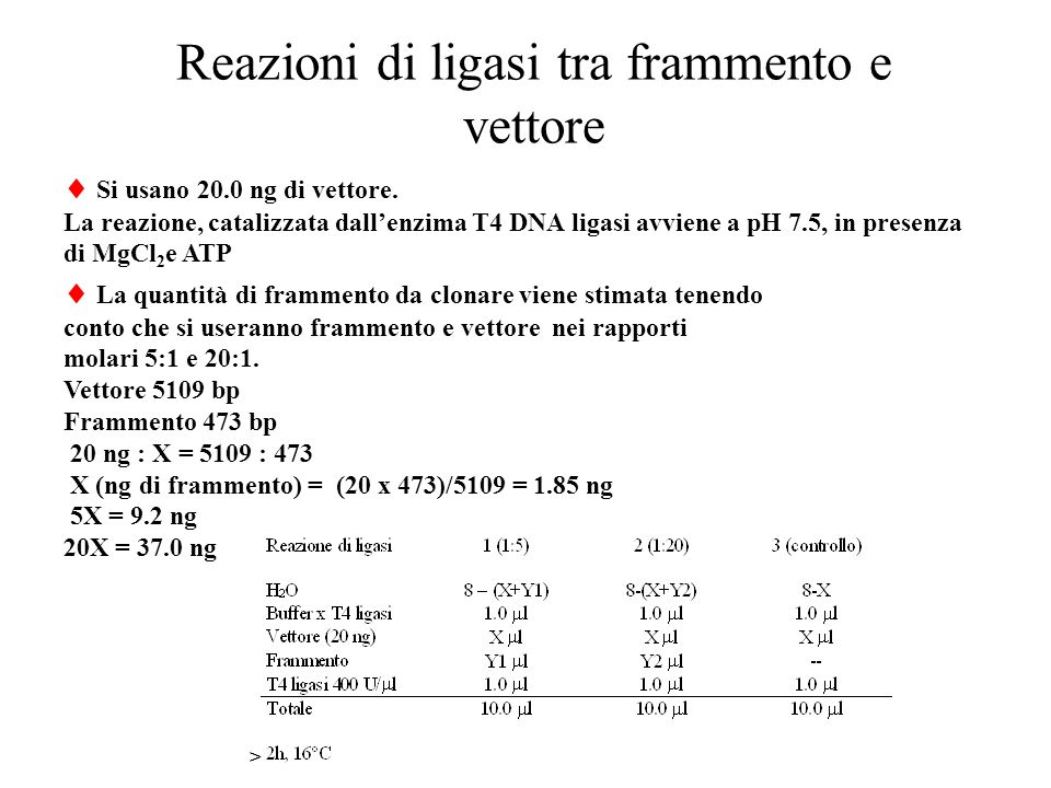 Reazioni di ligasi tra frammento e vettore