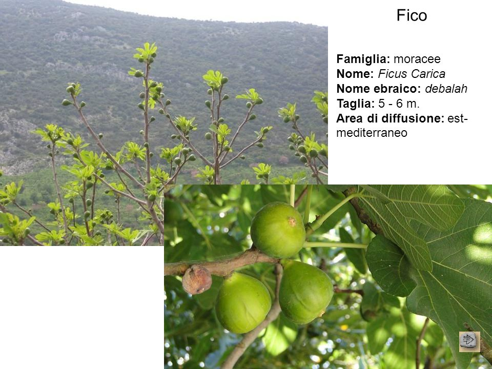 Fico Famiglia: moracee Nome: Ficus Carica Nome ebraico: debalah