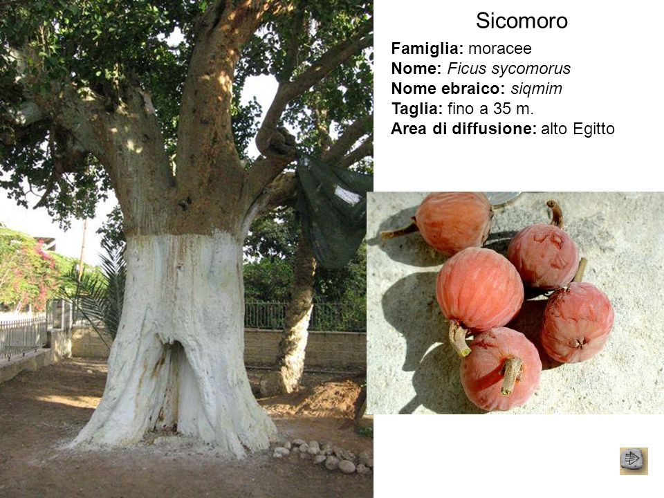 Sicomoro Famiglia: moracee Nome: Ficus sycomorus Nome ebraico: siqmim