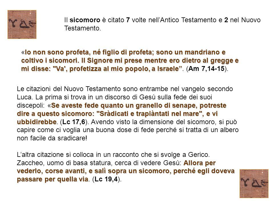 Il sicomoro è citato 7 volte nell'Antico Testamento e 2 nel Nuovo Testamento.