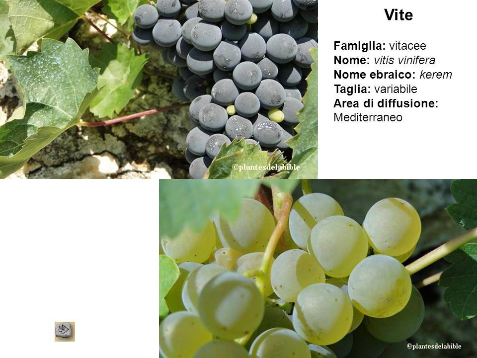 Vite Famiglia: vitacee Nome: vitis vinifera Nome ebraico: kerem