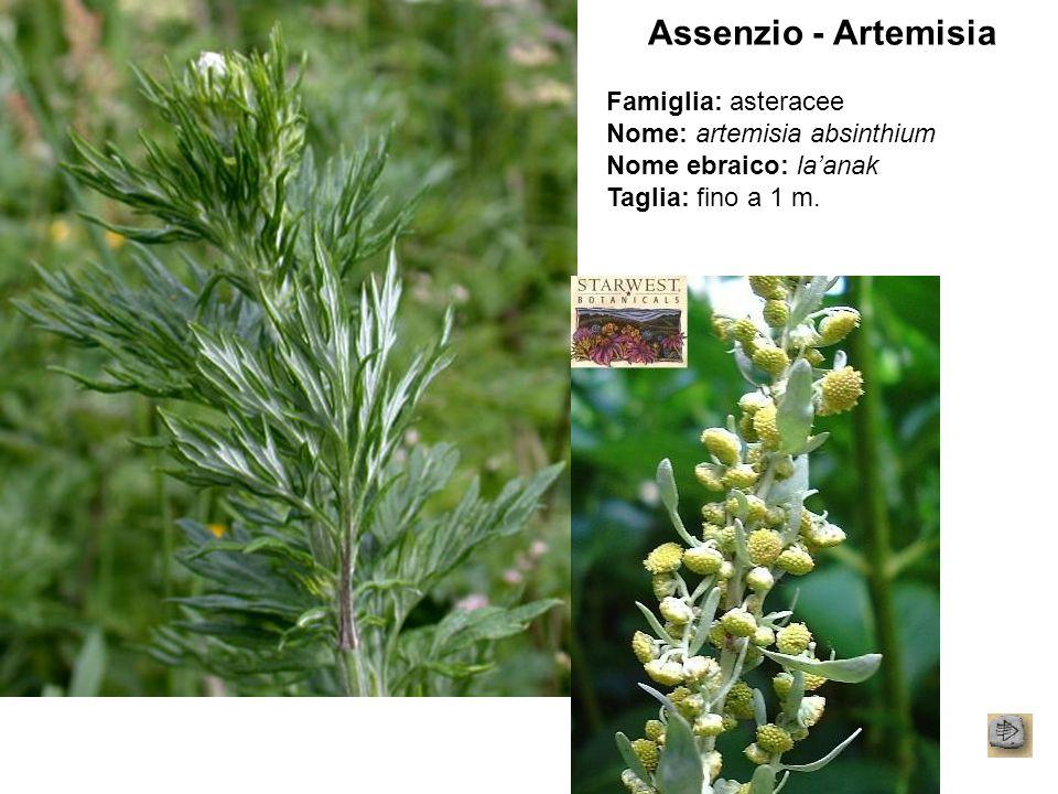 Assenzio - Artemisia Famiglia: asteracee Nome: artemisia absinthium