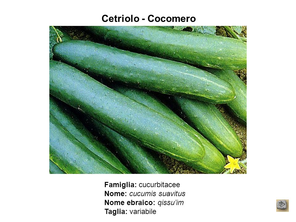 Cetriolo - Cocomero Famiglia: cucurbitacee Nome: cucumis suavitus