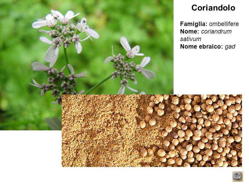 Coriandolo Famiglia: ombellifere Nome: coriandrum sativum