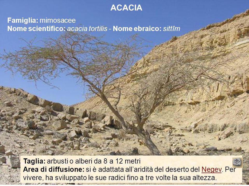 ACACIA Famiglia: mimosacee