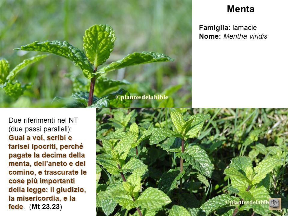 Menta Famiglia: lamacie Nome: Mentha viridis