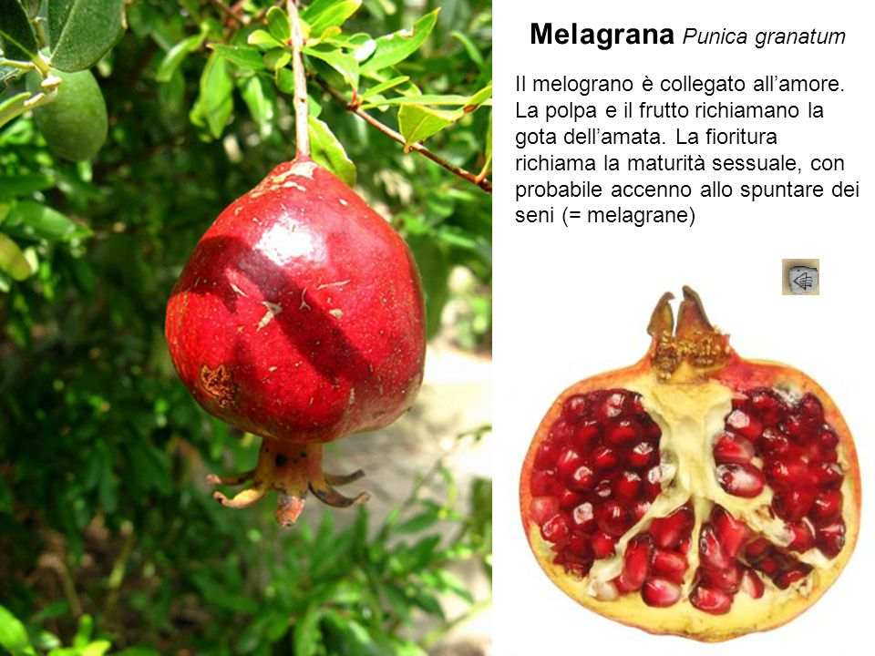 Melagrana Punica granatum