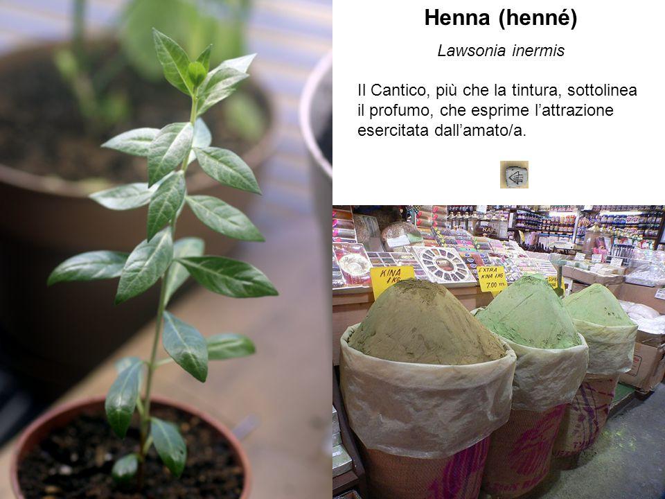 Henna (henné) Lawsonia inermis