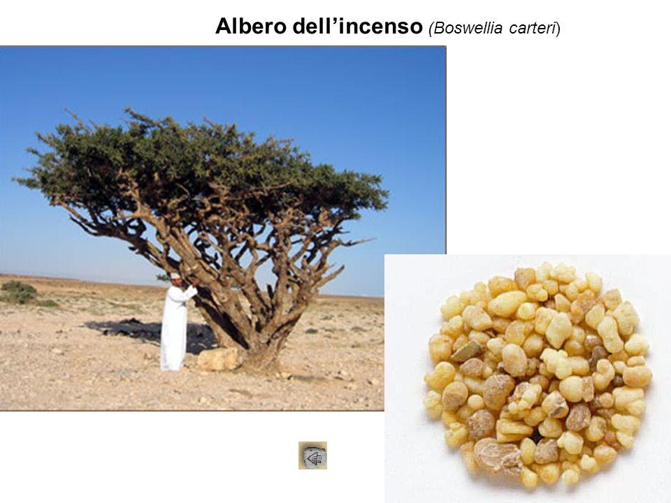 Albero dell'incenso (Boswellia carteri)