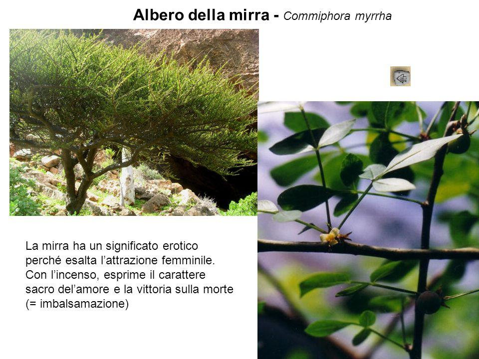 Albero della mirra - Commiphora myrrha