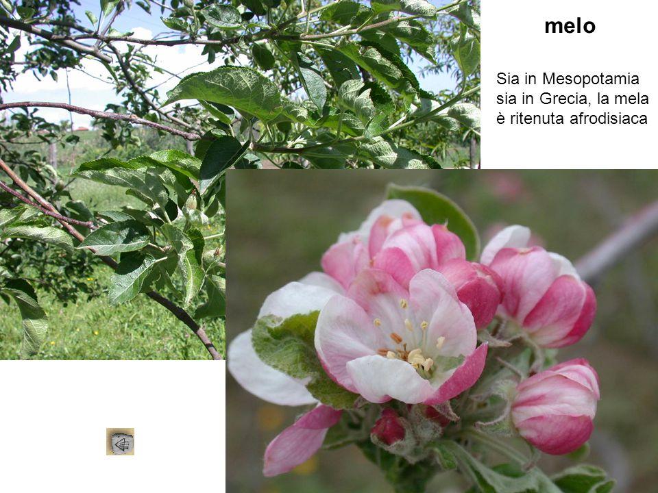 melo Sia in Mesopotamia sia in Grecia, la mela è ritenuta afrodisiaca