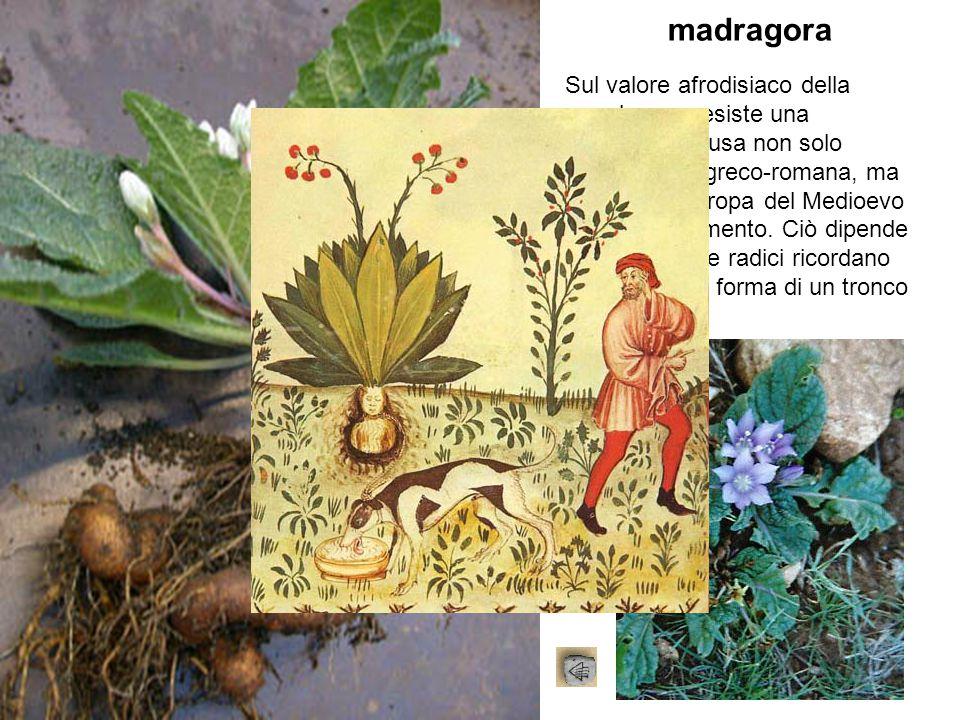 madragora