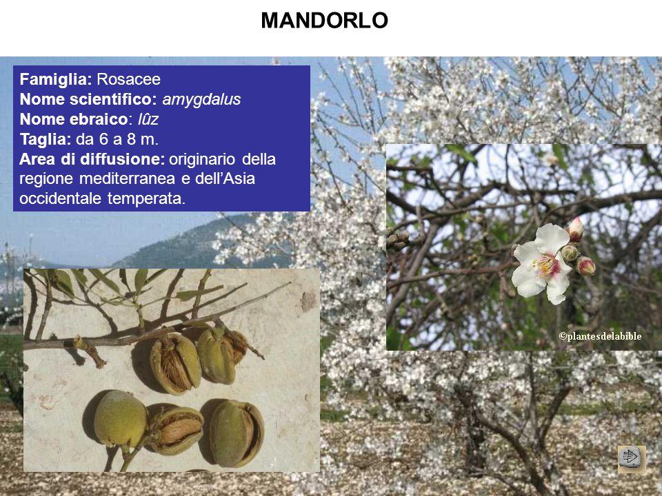 MANDORLO Famiglia: Rosacee Nome scientifico: amygdalus