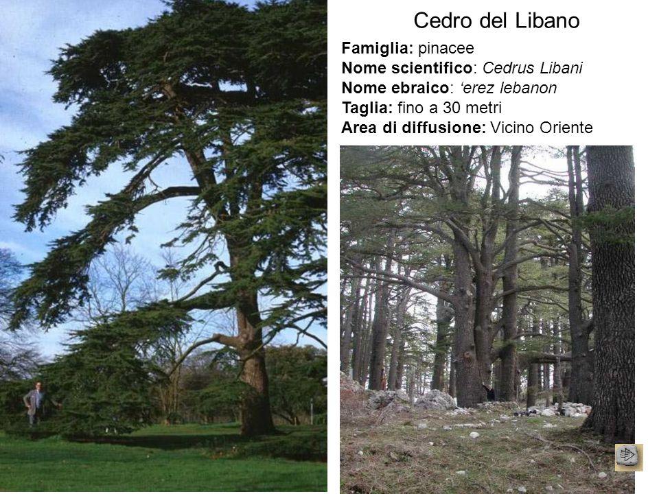 Cedro del Libano Famiglia: pinacee Nome scientifico: Cedrus Libani