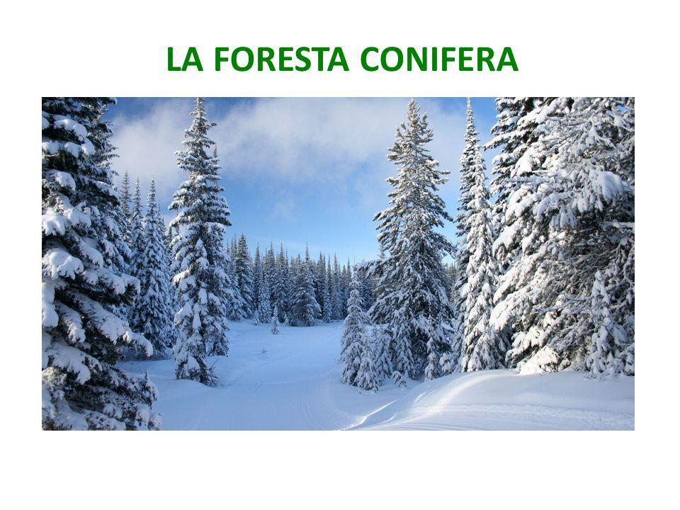 LA FORESTA CONIFERA