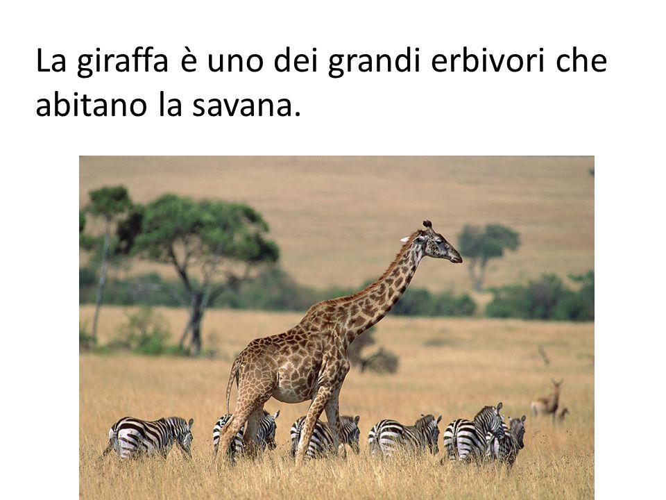 La giraffa è uno dei grandi erbivori che abitano la savana.