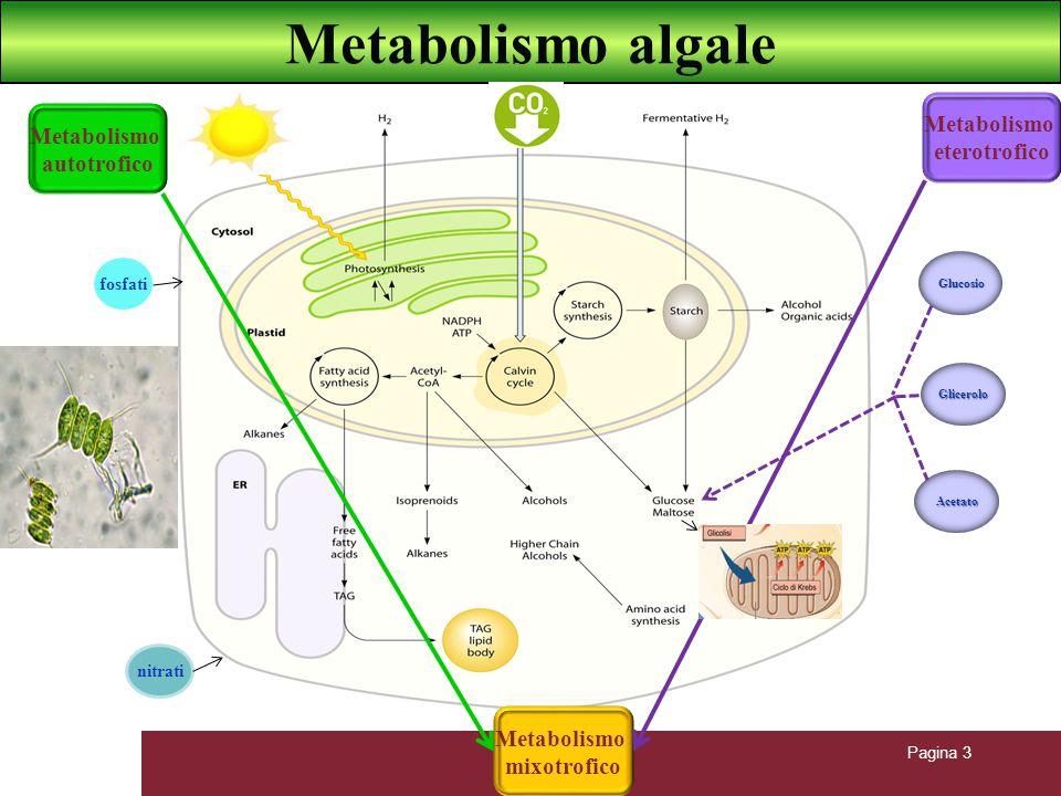 Metabolismo algale Metabolismo Metabolismo eterotrofico autotrofico