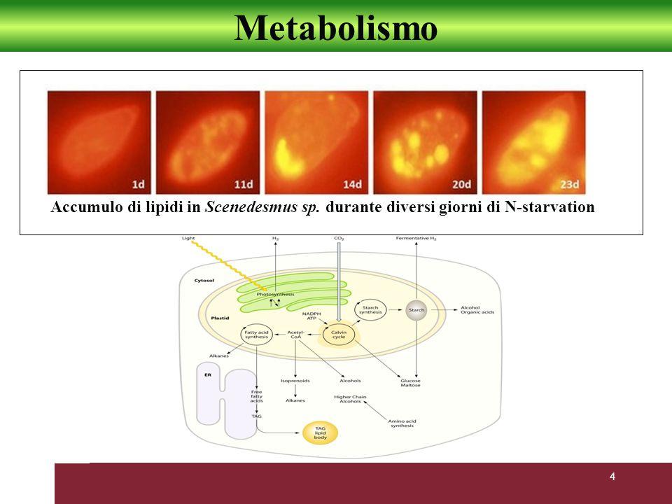 Metabolismo Accumulo di lipidi in Scenedesmus sp. durante diversi giorni di N-starvation