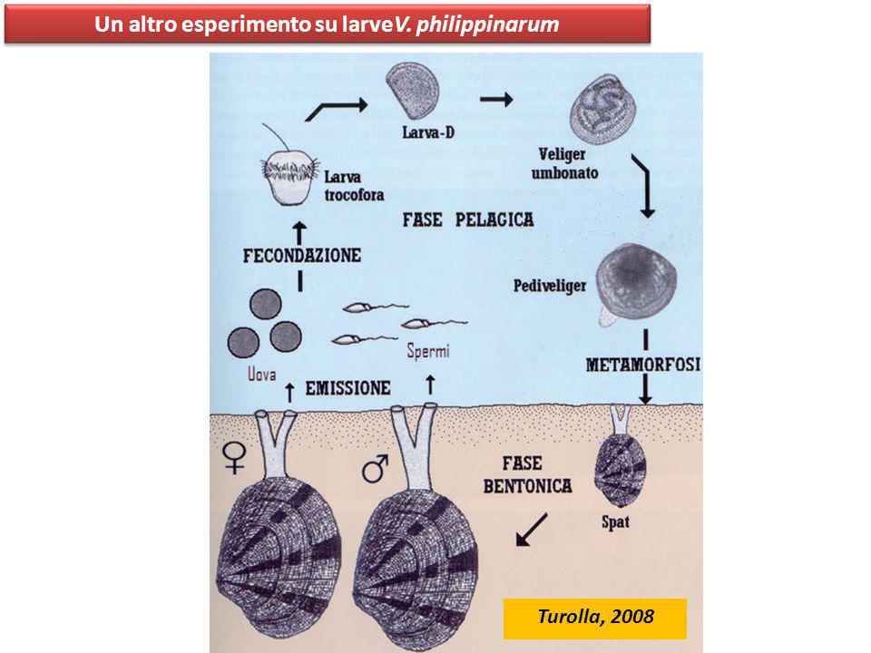 Un altro esperimento su larveV. philippinarum