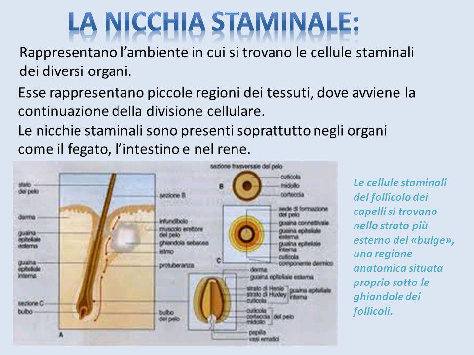 La nicchia staminale: Rappresentano l'ambiente in cui si trovano le cellule staminali dei diversi organi.