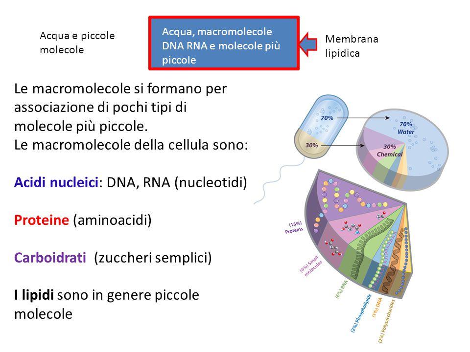 Le macromolecole della cellula sono: