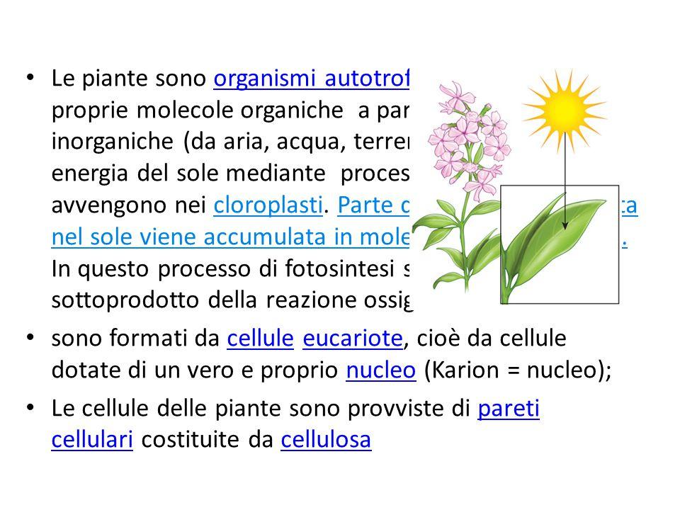 Le piante sono organismi autotrofi, sintetizzano le proprie molecole organiche a partire da sostanze inorganiche (da aria, acqua, terreno), utilizzando energia del sole mediante processi di fotosintesi che avvengono nei cloroplasti. Parte dell'energia contenuta nel sole viene accumulata in molecole come glucosio. In questo processo di fotosintesi si libera come sottoprodotto della reazione ossigeno.