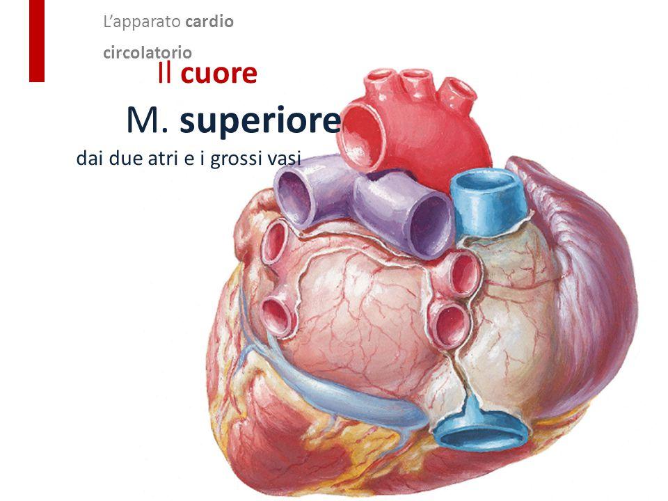 M. superiore Il cuore dai due atri e i grossi vasi