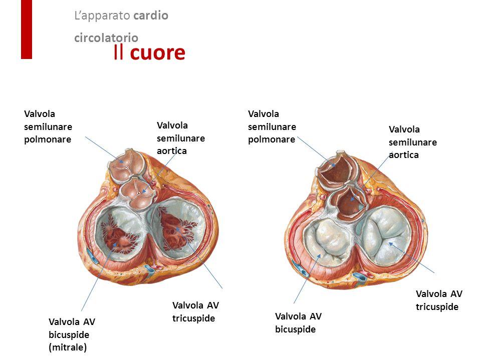 Il cuore L'apparato cardio circolatorio