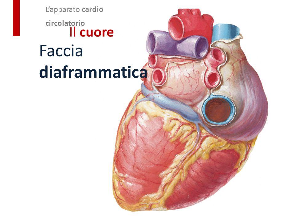 Faccia diaframmatica Il cuore L'apparato cardio circolatorio
