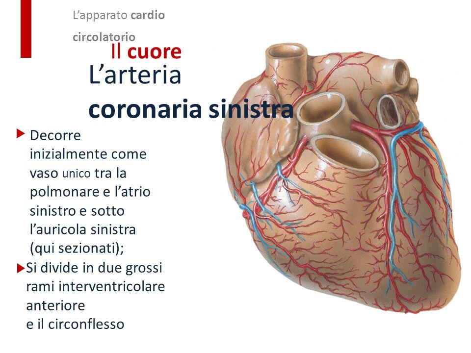 L'arteria coronaria sinistra Il cuore