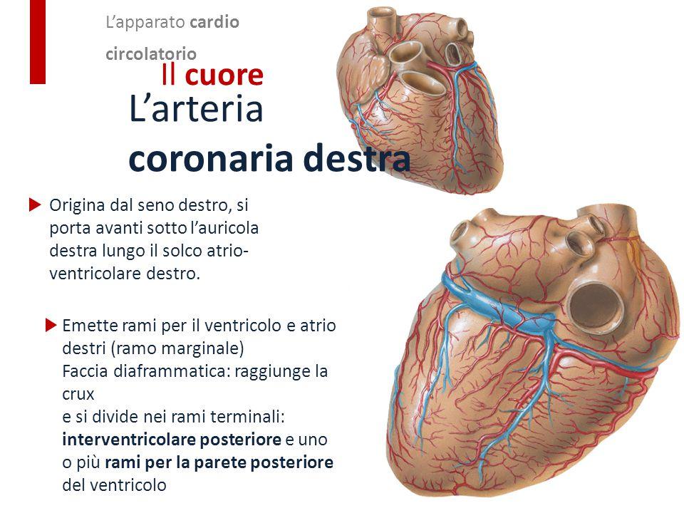L'arteria coronaria destra Il cuore L'apparato cardio circolatorio