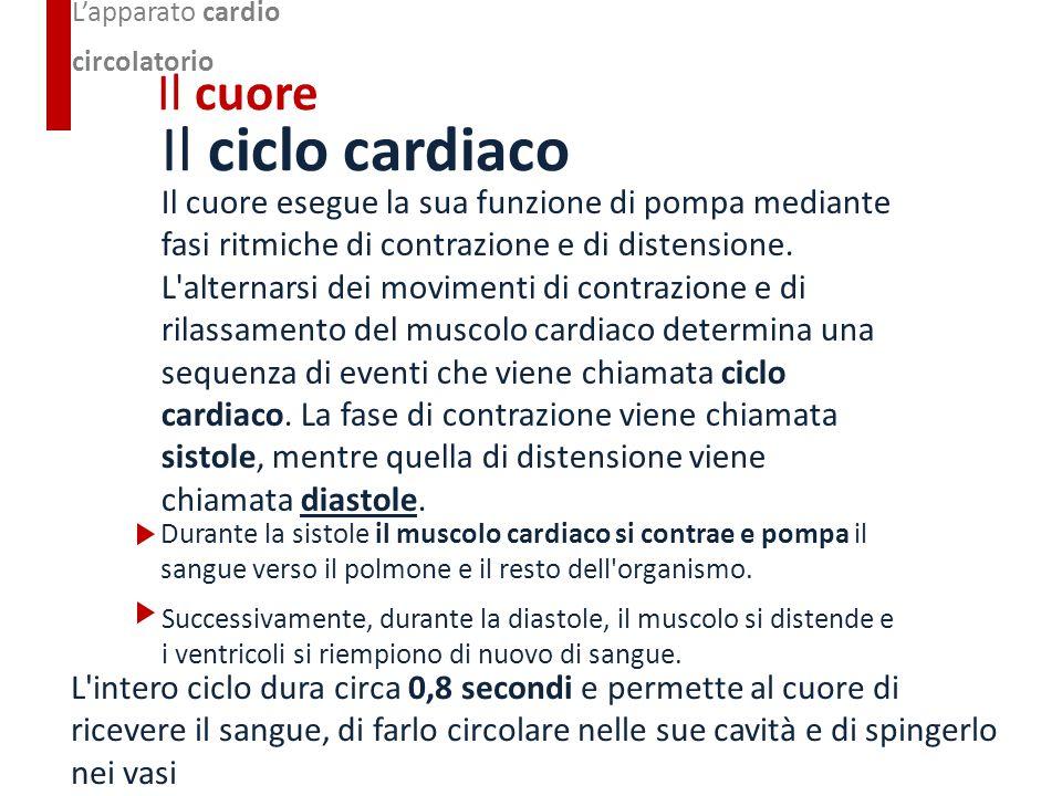 Il ciclo cardiaco Il cuore