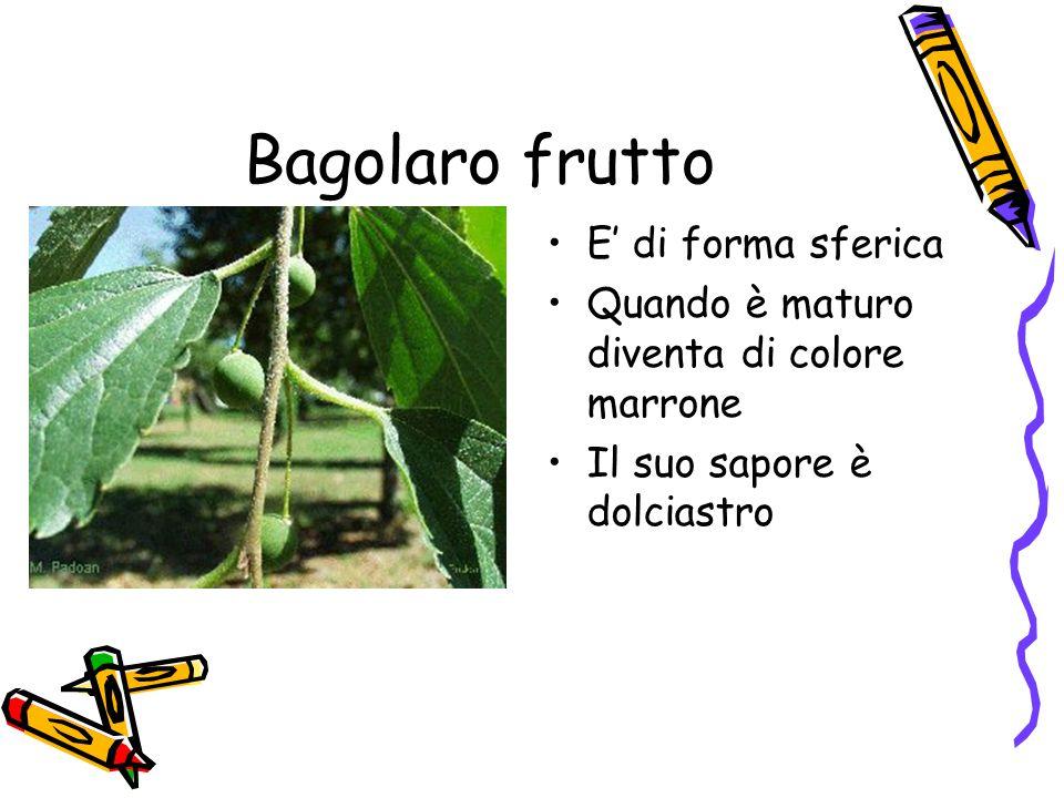 Bagolaro frutto E' di forma sferica