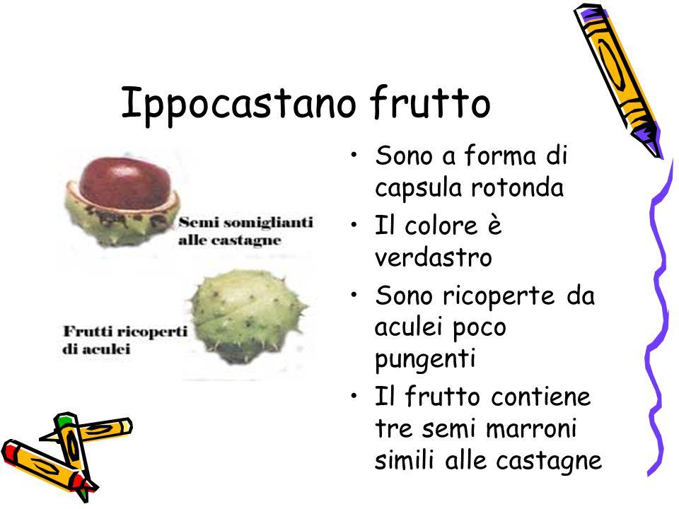 Ippocastano frutto Sono a forma di capsula rotonda