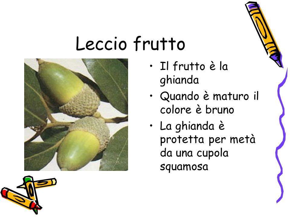 Leccio frutto Il frutto è la ghianda Quando è maturo il colore è bruno