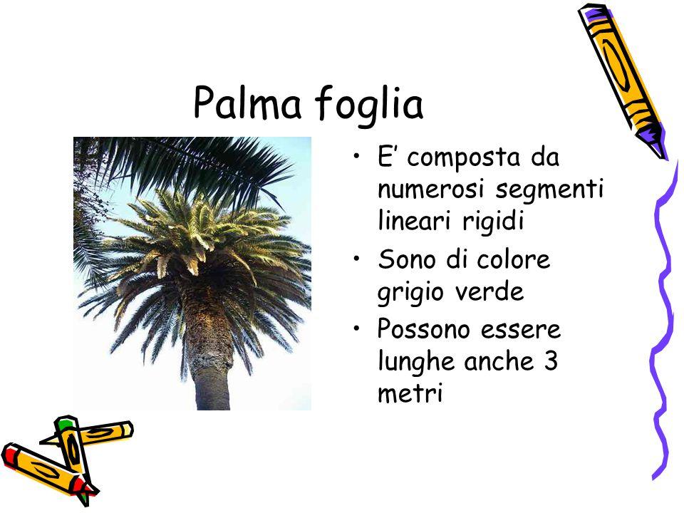 Palma foglia E' composta da numerosi segmenti lineari rigidi