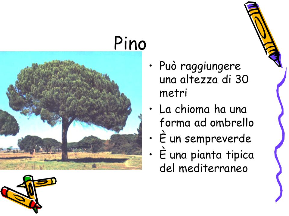 Pino Può raggiungere una altezza di 30 metri